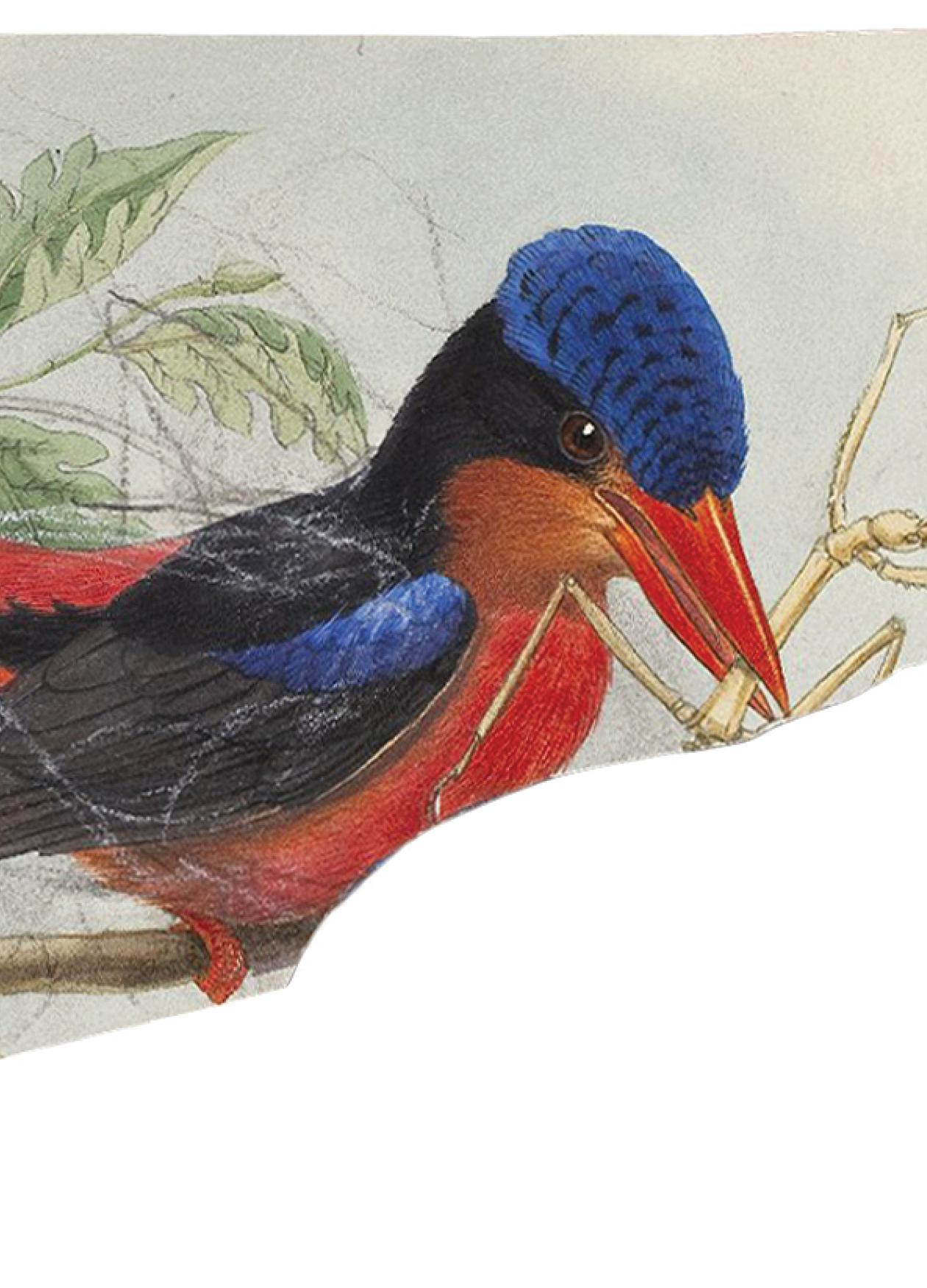 Blue and red kingfisher, with an insect in its beak