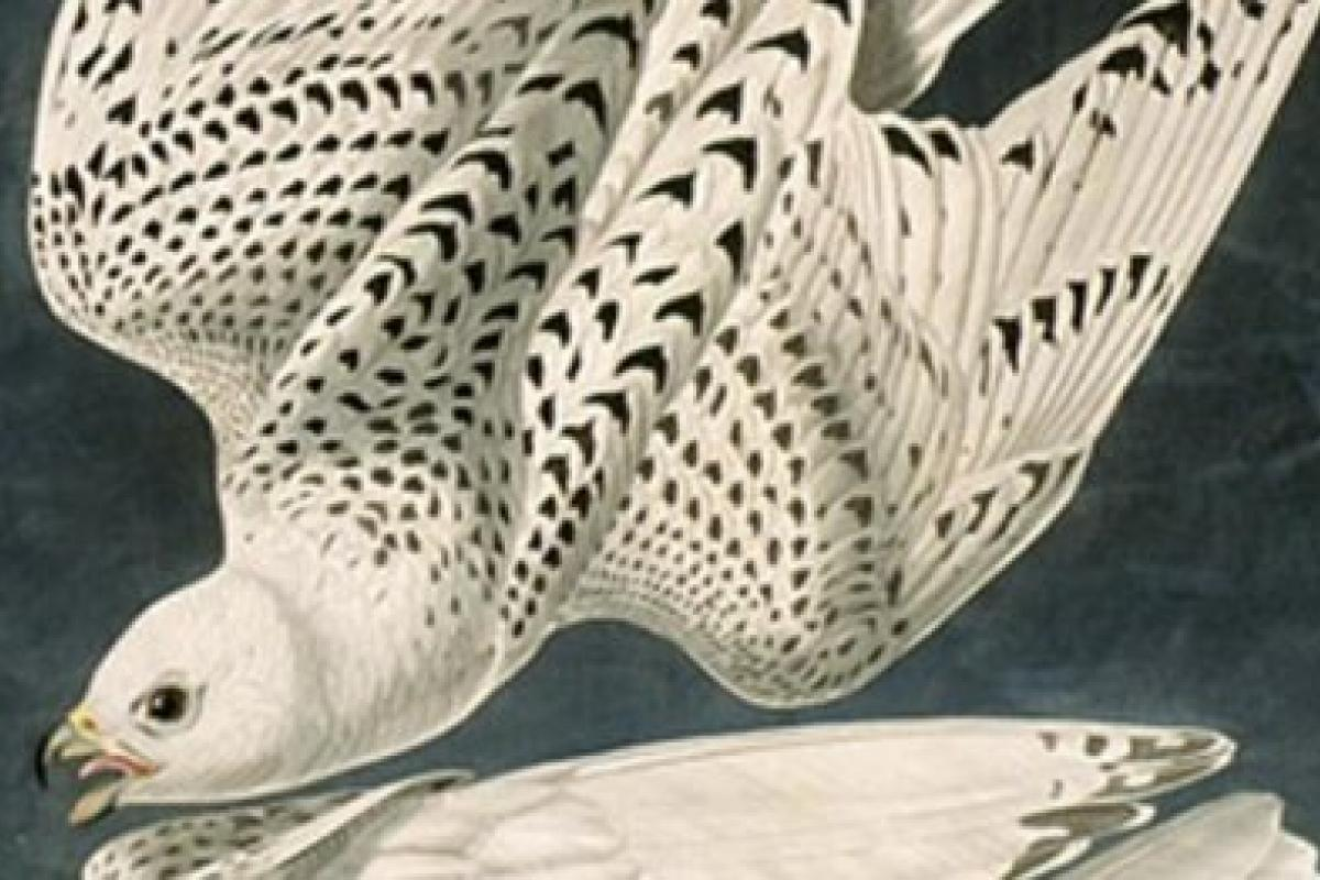 A drawing of falcons from Audubon's Birds of America