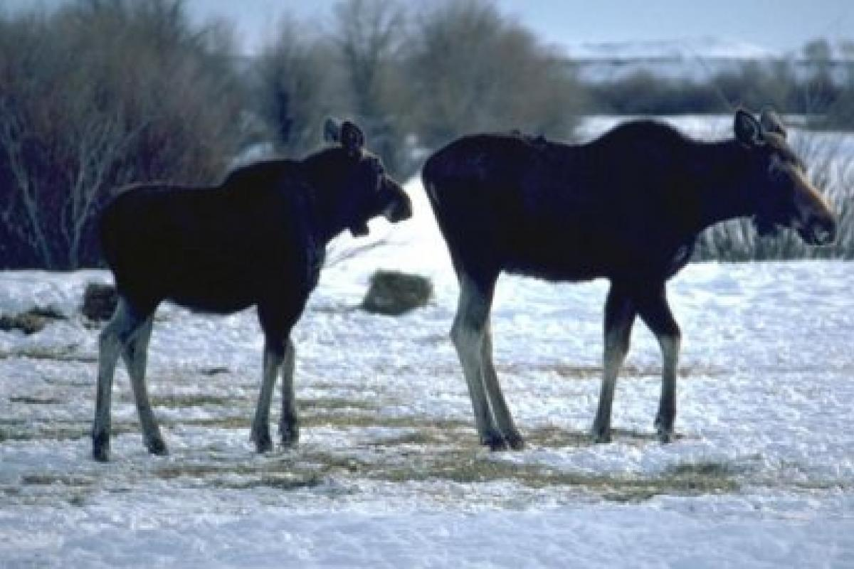 Color photo of two moose walking in a snowy landscape.