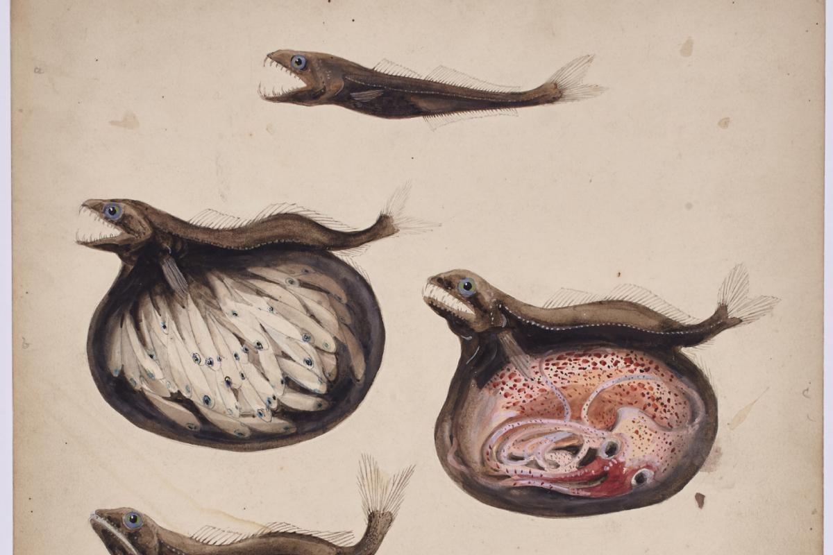 Illustration of Chiasmodon niger stomach contents by NYZS field staff artist Else Bostelmann, 1934