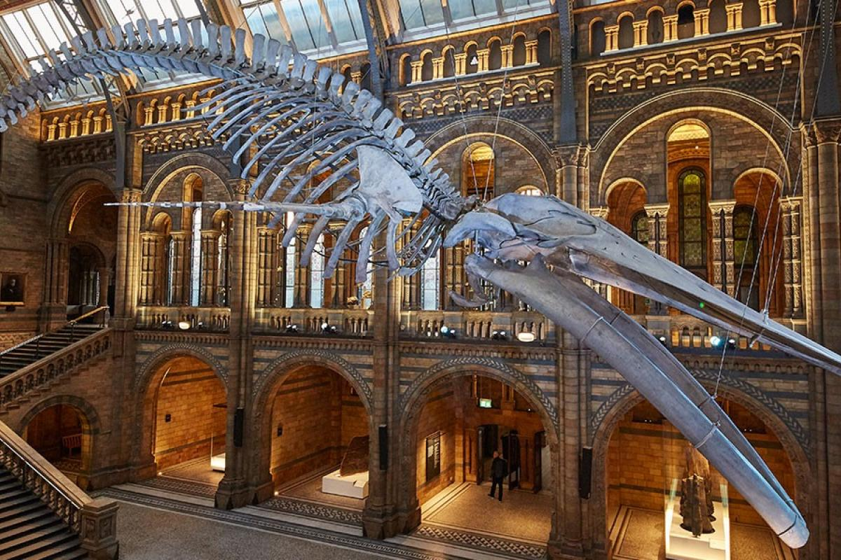 The blue whale skeleton in its new Hintze Hall home