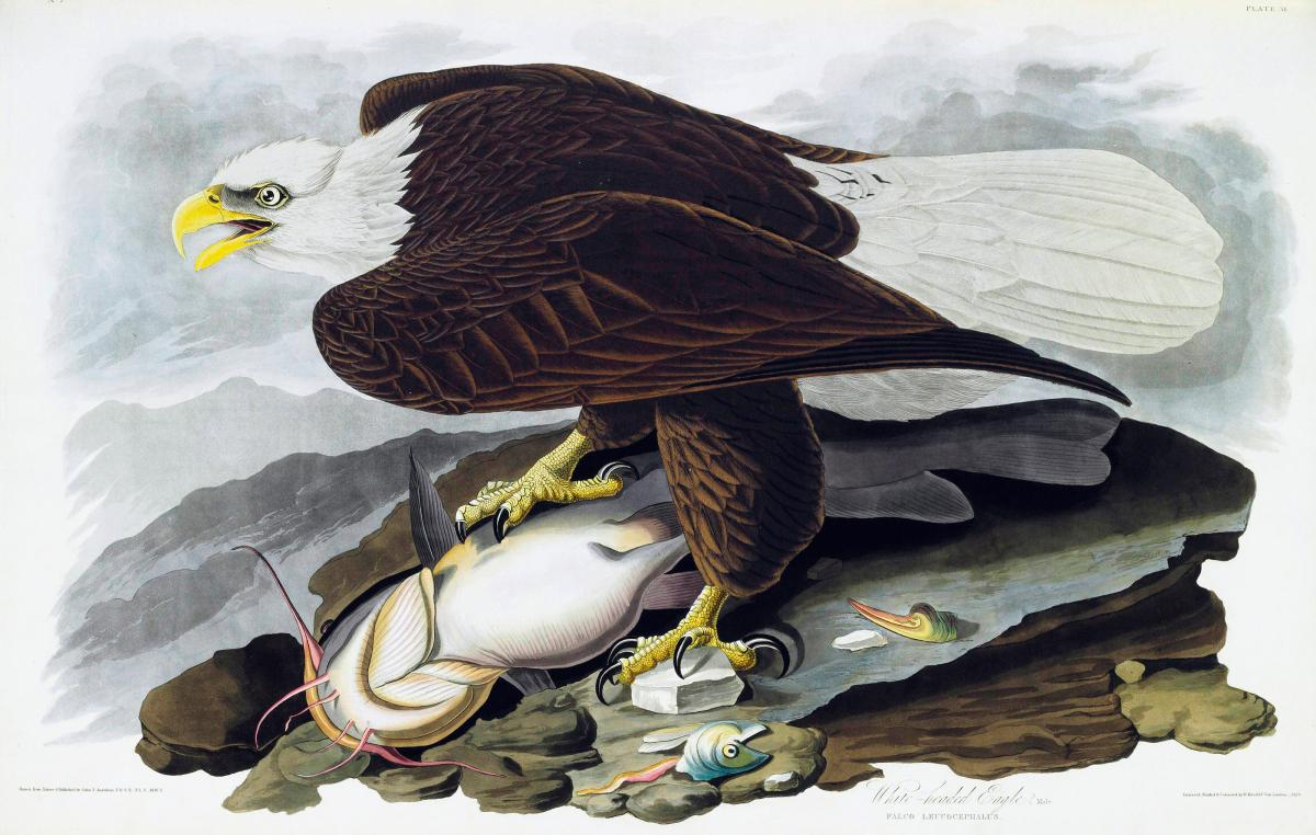 painting of a bald eagle standing on top of a catfish