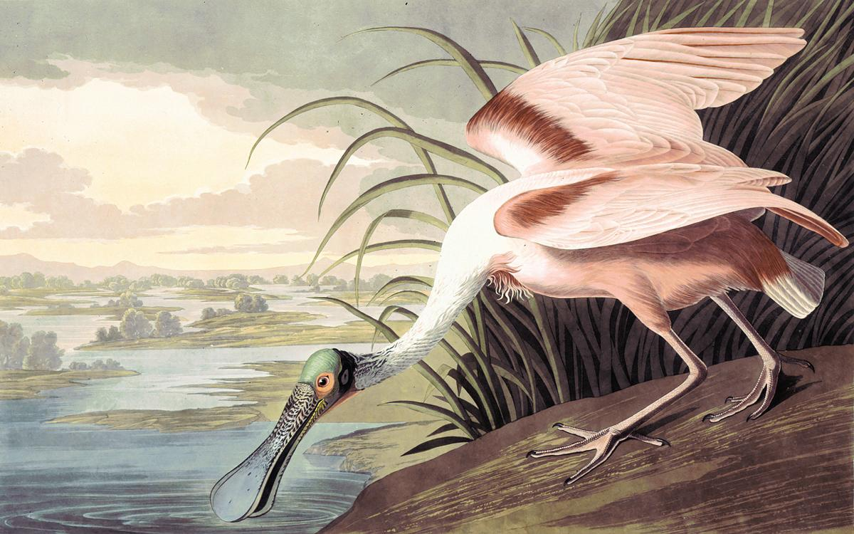 painting of a large pink bird leaning down to drink water