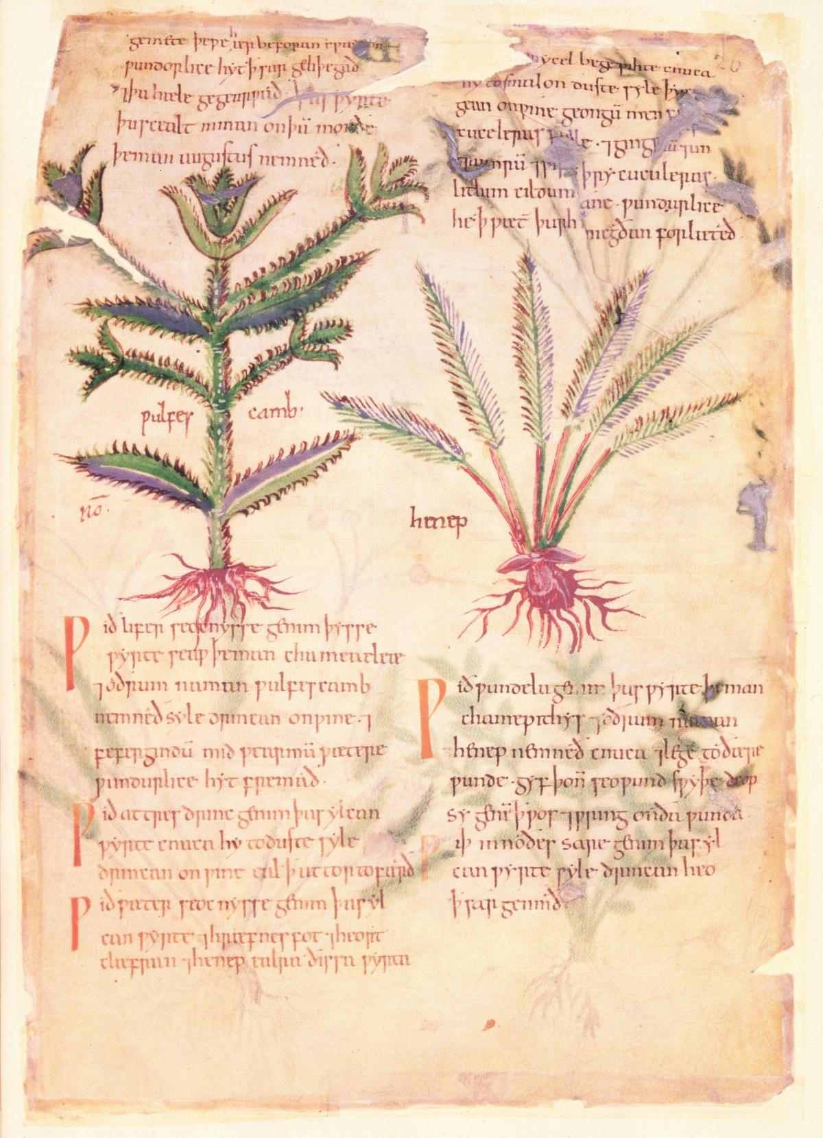 Delicate color drawings of two herbs, captioned with text in red ink