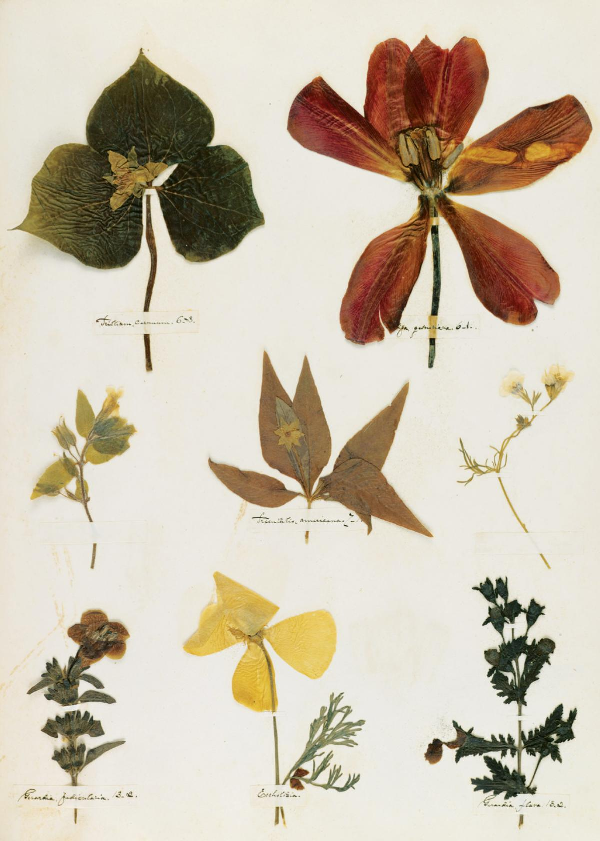 Photograph of pressed flowers