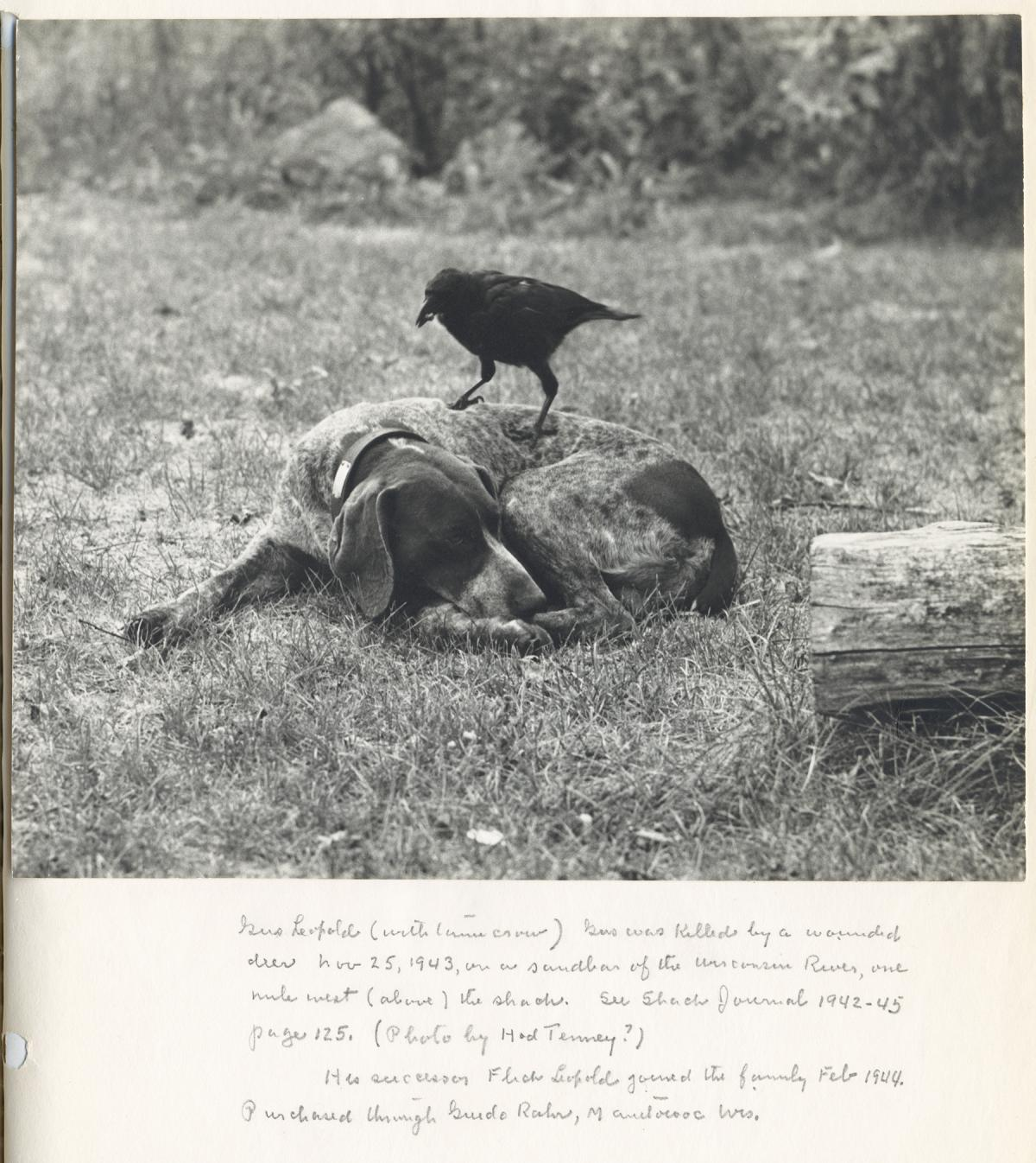 Black and white photo of dog laying down, a crow perched on it, with text at bottom
