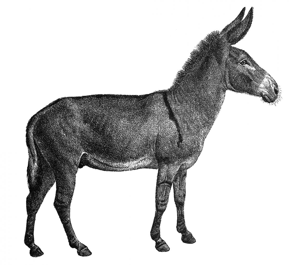 Side view of a gray and white donkey, facing the right