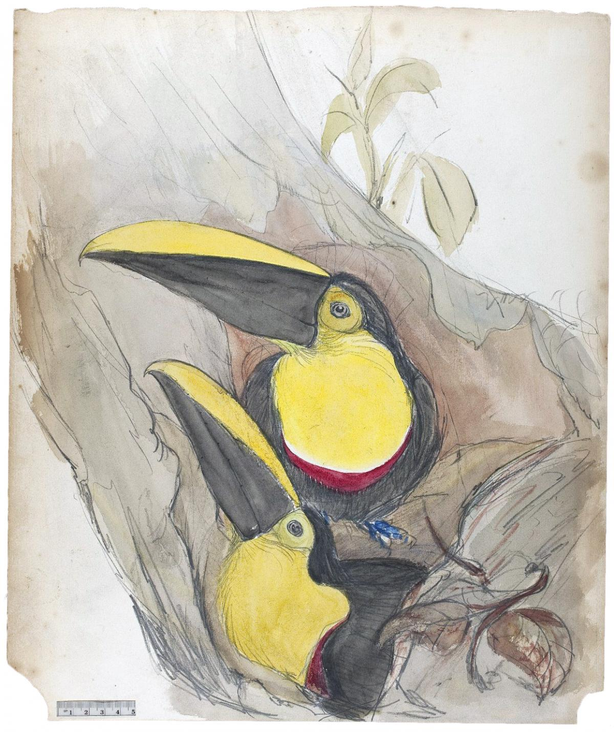 A pair of black and yellow toucans, sitting on a branch