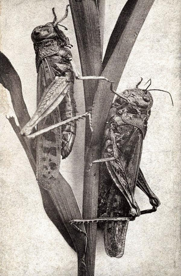 Two thick-bodied locusts clinging hungrily to a stalk.