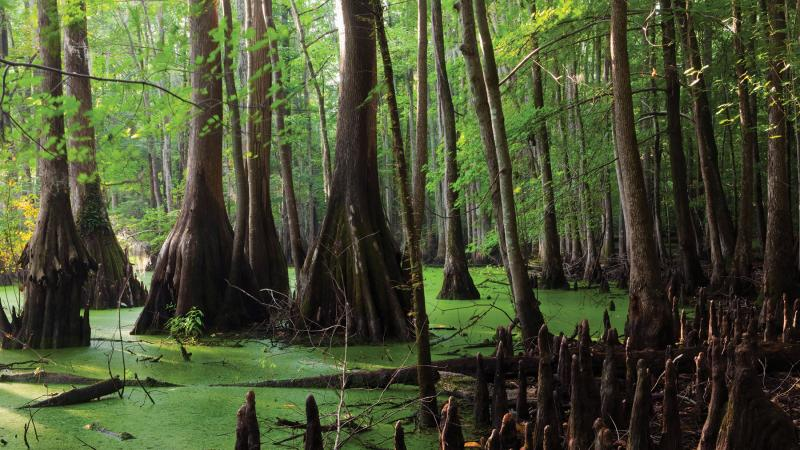 Photo of a swampy area with tall trees and mangroves.