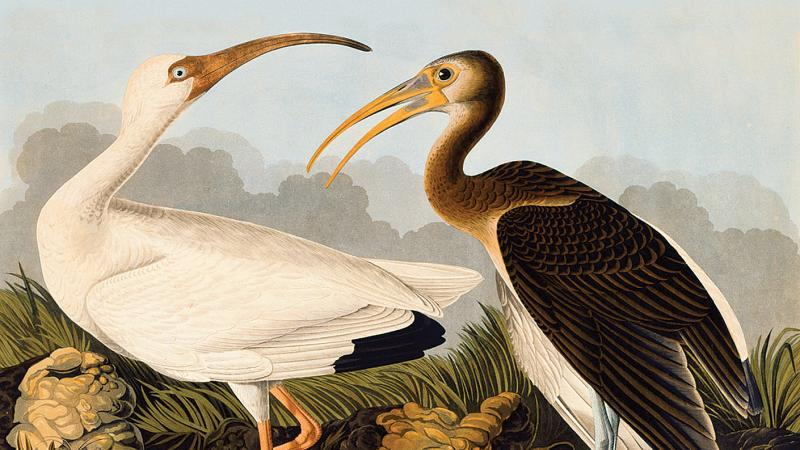 painting of two ibises with craned necks