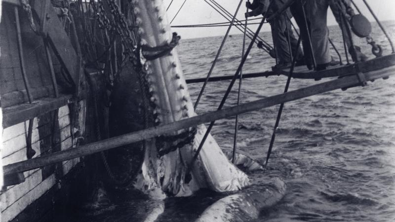 Black and white photo of two men suspended beside boat, removing a whale's jaw