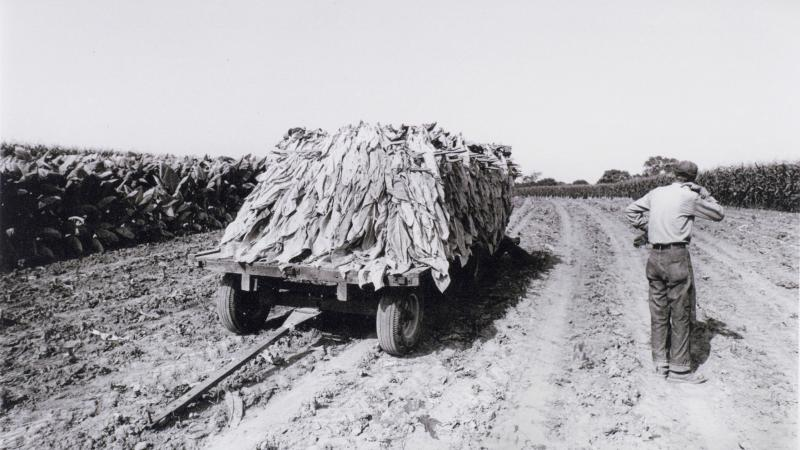 Black and white photo of a man standing in a harvested tobacco field, watching a truck loaded with the plant roll by.