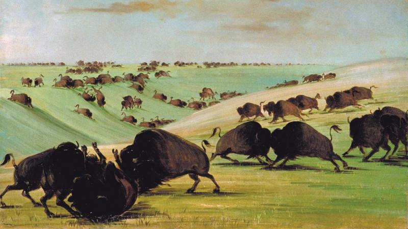 buffalo fighting in rolling hills of green grass