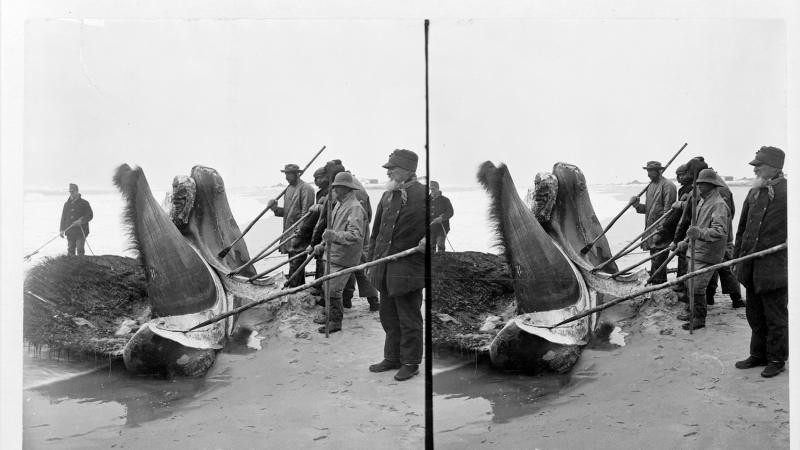 A crew of men drag whale parts onto a beach