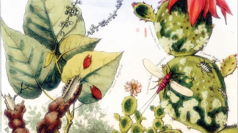 hand-drawn cochineal and lac insects, drawn in reds, greens, and yellows