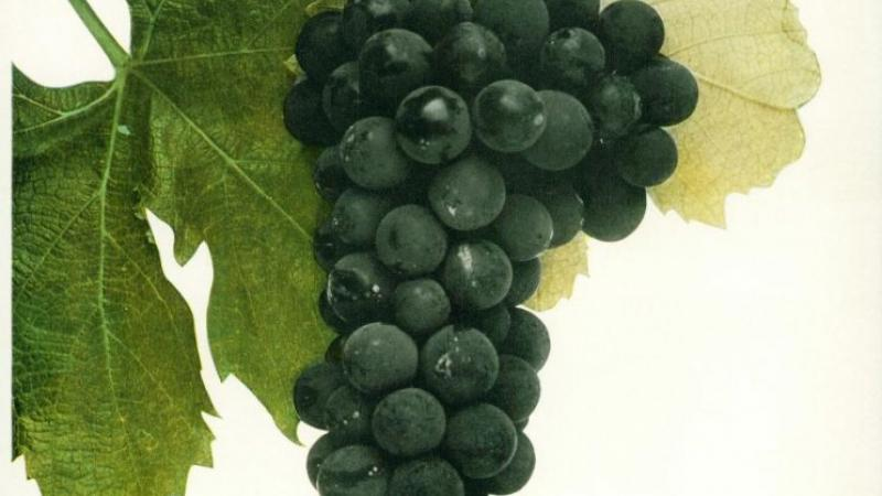 "The ""Black Eagle"" grape variety"
