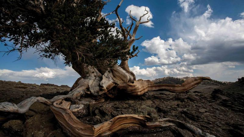 The bristlecone pine: short, gnarly, and capable of great longevity.